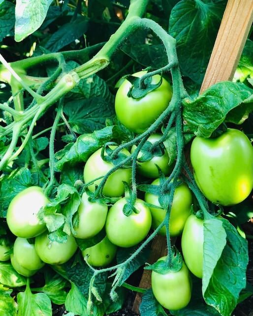 a tomato plant holding a bunch of green tomatoes.