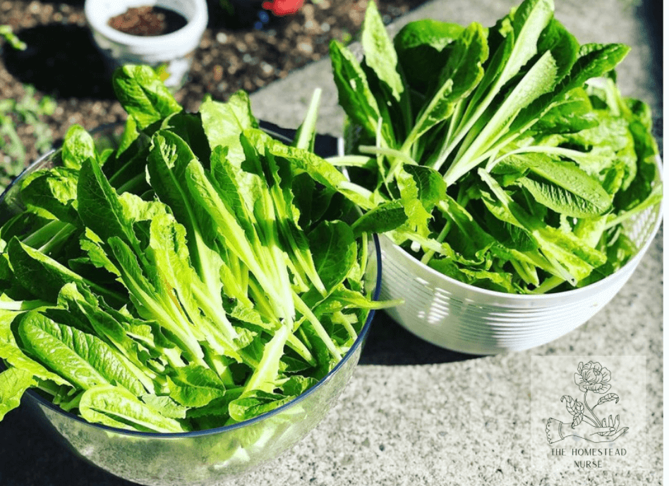 2 white bowls filled with fresh picked lettuce from a garden