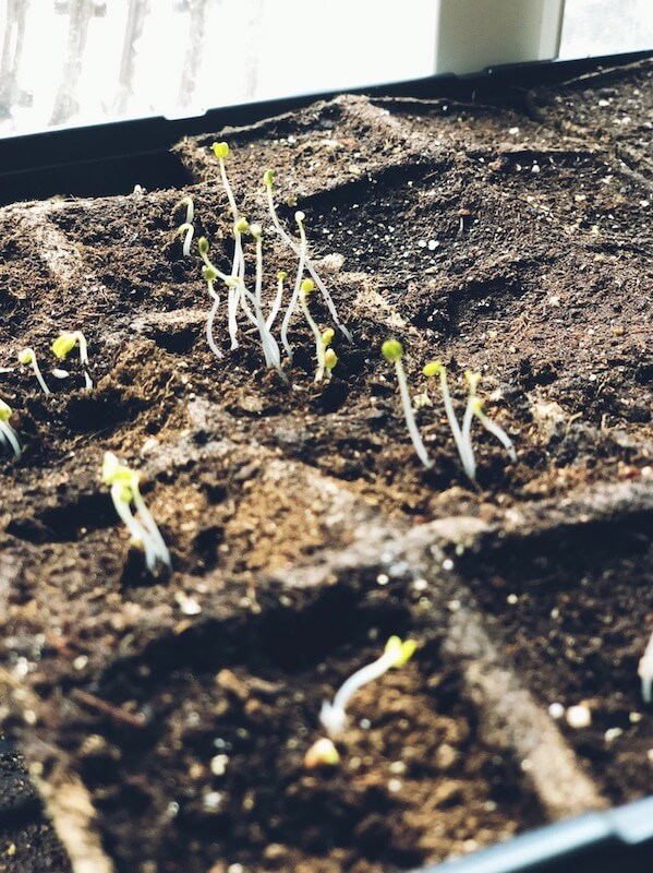 a seed starting tray filled with soil ad a couple of seedling popping up