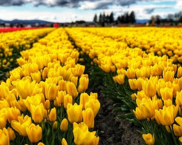 a large field of yellow tulips in Mount Vernon, WA, tulip town