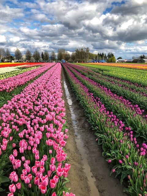 a field of different color tulips in tulip town, mount vernon, WA