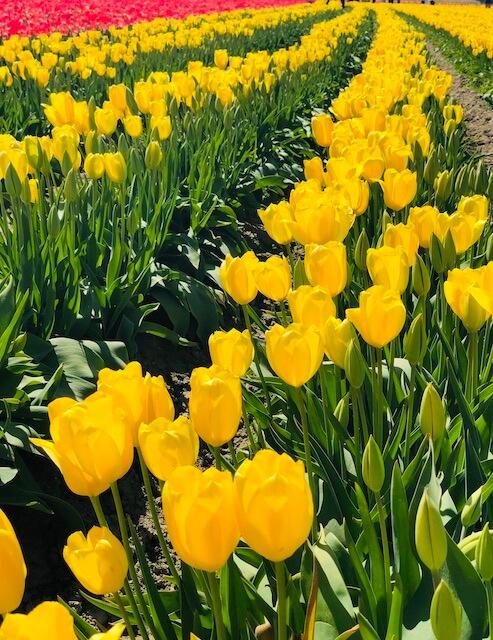 yellow tulip field of flowers