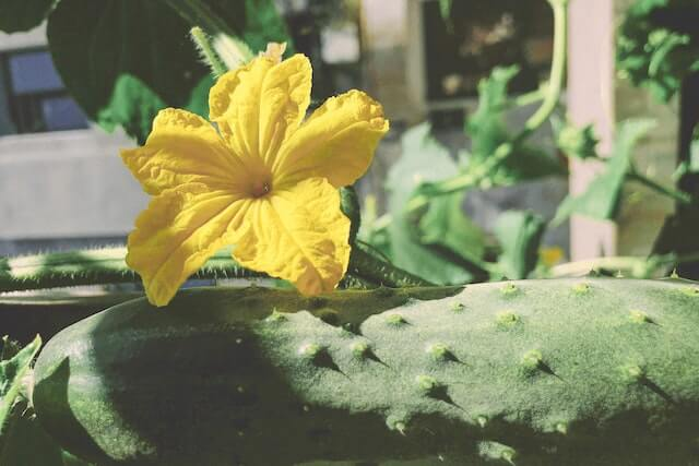 a cucumber next to a yellow flower