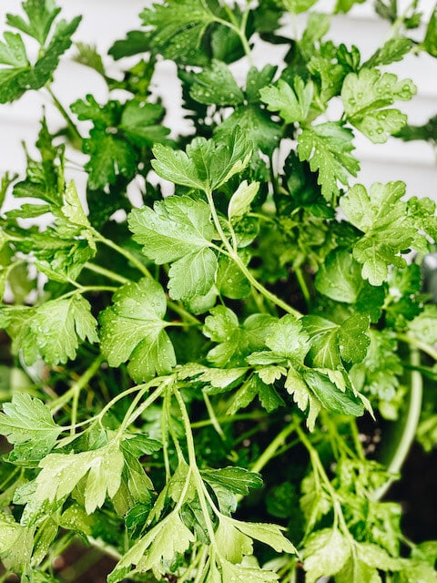 a large parsley  plant in a container