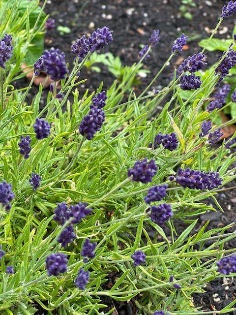 a patch of purple lavender