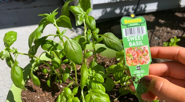 basil plant in a container