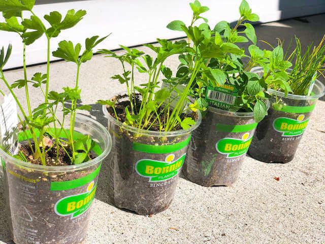 3 herb plants in pots ouside