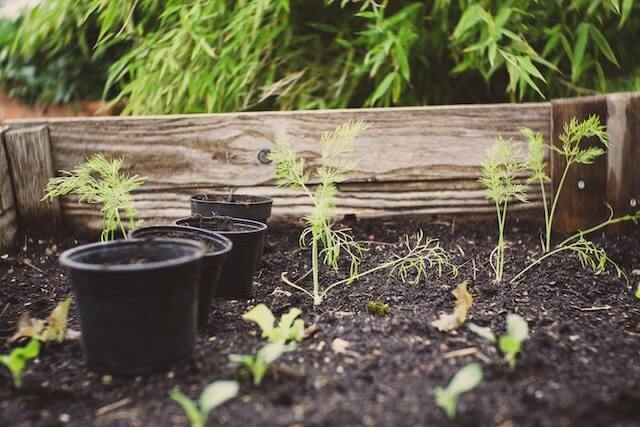 herbs in a raised garden bed