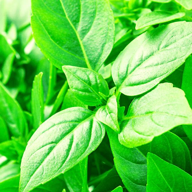 lemon basil plant leaves
