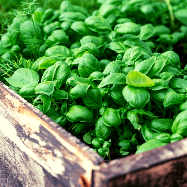 basil growing in a wood raised bed
